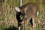 White-tailed doe (Odocoileus virginianus) eating forage