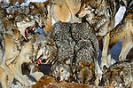 Gray wolf pack feeds on deer carcass, Canada