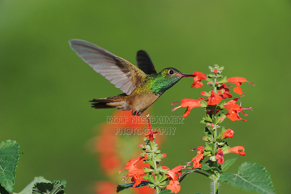 Buff-bellied Hummingbird (Amazilia yucatanenensis), adult feeding on Tropical Sage (Salvia coccinea), Sinton, Corpus Christi, Coastal Bend, Texas Coast, USA