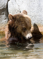 0325-1012  Grizzly Bear Swimming in Deep Pool of Water, Ursus arctos horribilis  © David Kuhn/Dwight Kuhn Photography.