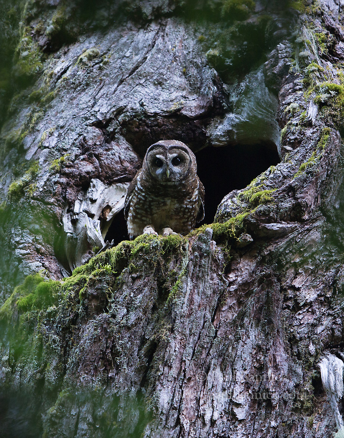 A male Northern Spotted Owl emerges from his nest cavity after delivering prey his mate.
