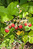 Wald-Erdbeere, Walderdbeere, Erdbeere, Frucht, Früchte, Erdbeeren, Monatserdbeere, Monats-Erdbeere, Fragaria vesca, wild strawberry, woodland strawberry, Alpine strawberry, European strawberry, fraises des bois