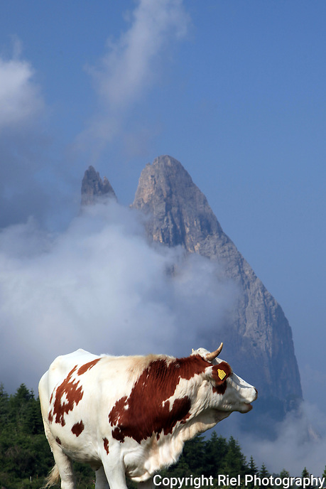 A grazing cow among the high dramatic mountains of The Dolomites in Italy.