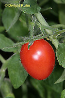 HS09-514z  Tomato mature fruit, Plum tomato, Juliet, Lycopersicon lycopersicum