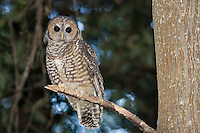 Spotted Wood Owl, Old growth redwood forest. Big Sur, CA