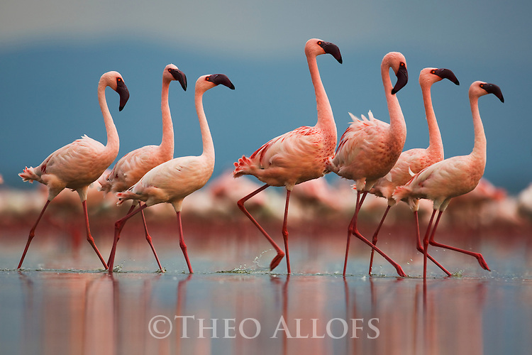 Group of lesser flamingos (Phoenicopterus minor) walking in Lake Nakuru, Lake Nakuru National Park