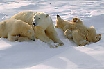 Rolling on the hard-packed snow satisfies young polar bear cubs' need for amusement and helps remove frozen clumps of snow from their fur..Wapusk National Park, Manitoba, Canada
