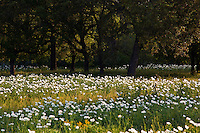 A Field of Texas White Prickly Poppy wildflowers surrounded by Texas Live Oaks in the Texas Hill Country, Llano, Texas