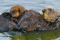 Sea Otters (Enhydra lutris)--mom with young pup.