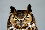 OWL; great horned owl