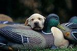 34-317. A yellow Labrador retriever puppy naps on a mallard duck decoy.
