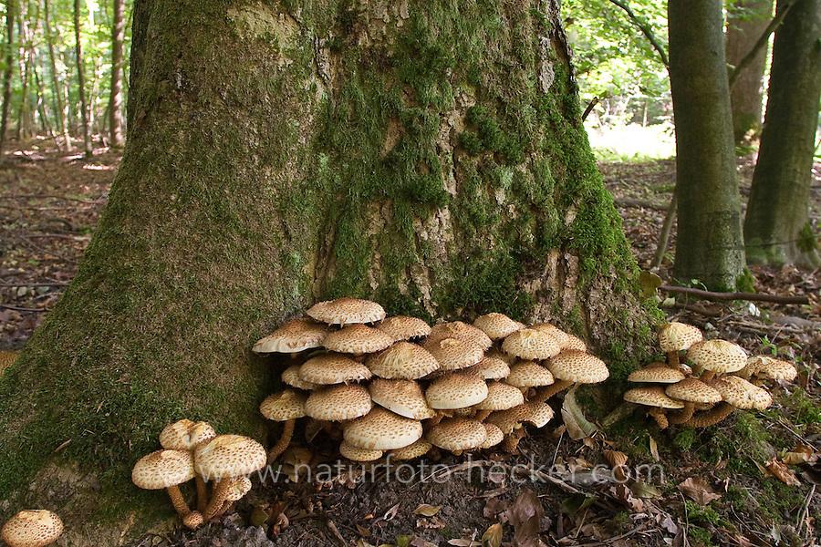 Sparriger Schüppling, Pholiota squarrosa, Pholiota squarosa, shaggy scalycap, shaggy Pholiota, scaly Pholiota