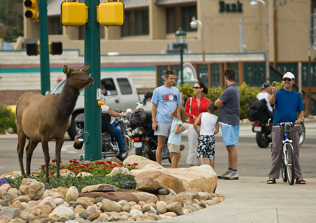Tourists watching a female American elk (Cervus elaphus) standing at the busy intersection of US Hwy 34 & 36 in downtown Estes Park, Colorado on a summer afternoon