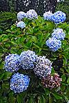 Flor Hortência ( Hydrangea macrophylla). RS. Foto de Juca Martins.