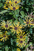 Rudbeckia submentosa Henry Eilers, Sweet Black Eyed Susan, Sweet Coneflower in yellow bloom
