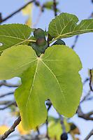 Echte Feige, Feigenbaum, Früchte, Ficus carica, Fig