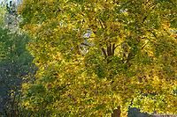 Bigleaf Maple in Autumn