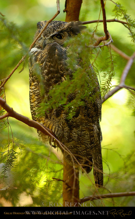 Great Horned Owl, Tiger Owl, Mount Ranier, Washington