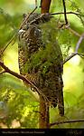 Great Horned Owl, Tiger Owl, Mount Ranier, Washington