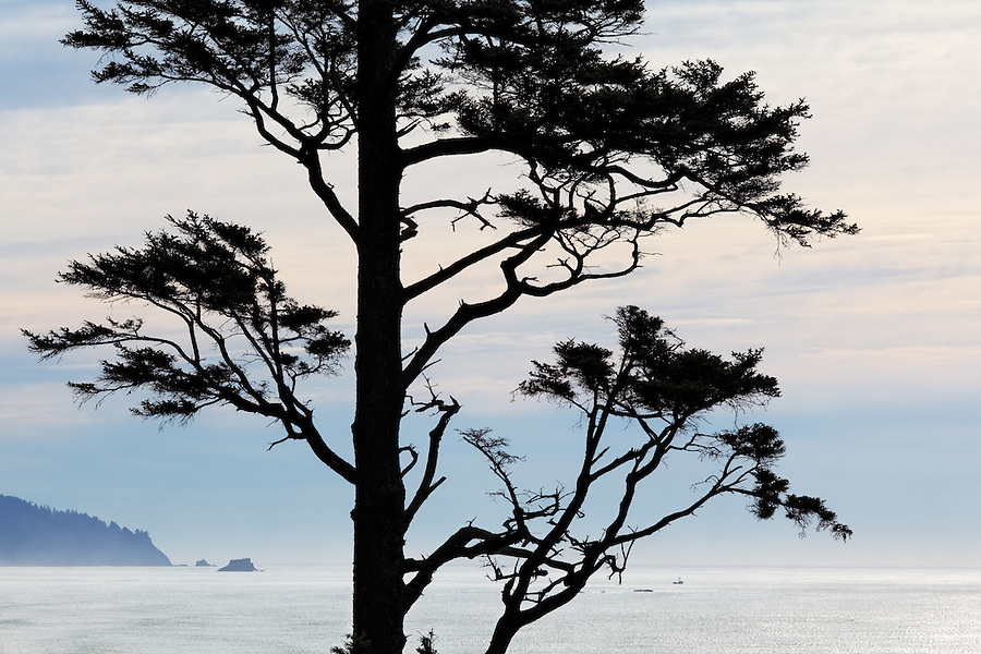 Sitka Spruce (Picea sitchensis) tree on Oregon Coast, Ecola State Park, Oregon, USA