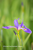 63899-05307 Blue Flag Iris (Iris versicolor) in wetland, Marion Co., IL