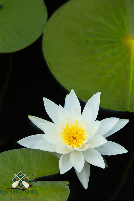 &quot;Fragrant White Water Lily&quot;<br />