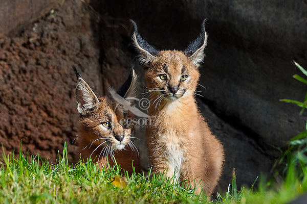 "Two young Caracal Kittens (Caracal caracal).  Caracals are found in Africa to Central Asia and India.  The word ""Caracal"" comes from the Turkish word ""karakulak"" which means ""black ear."""