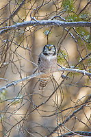 Hawk Owl in winter, Alberta, Canada