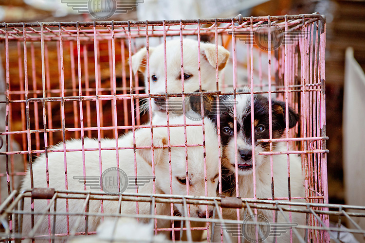 Puppies for sale in a cage at Seomun market.