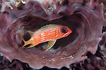 Gardens of the Queen, Cuba; a Longspine Squirrelfish hiding inside a purple tube sponge