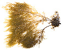 Japweed {Sargassum muticum} photographed on a white background in a mobile field studio. This seaweed is an alien invasive species to the UK. Devon, UK. June.