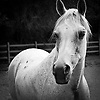 Black and white portrait of a proud light gray horse.