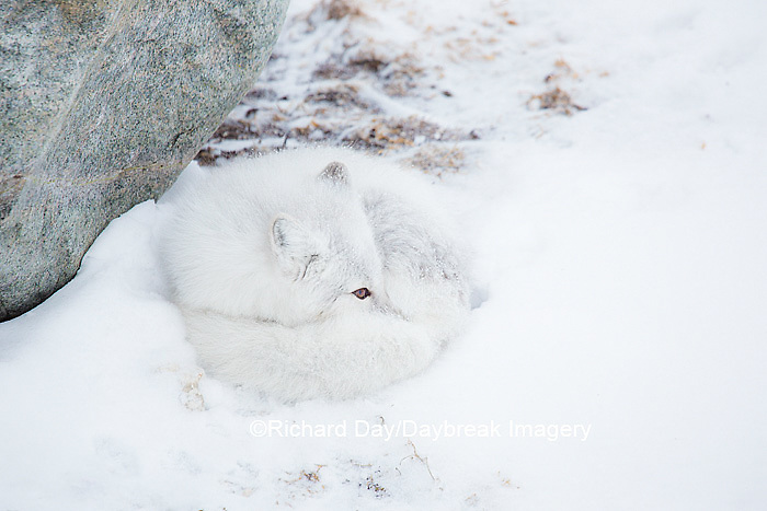 01863-01617 Arctic Fox (Alopex lagopus) in winter, Churchill Wildlife Management Area, Churchill, MB