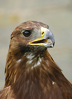 Female Golden Eagle close-up. (Aquila chrysaetos)....Copyright..John Eveson, Dinkling Green Farm, Whitewell, Clitheroe, Lancashire. BB7 3BN.01995 61280. 07973 482705.j.r.eveson@btinternet.com.www.johneveson.com