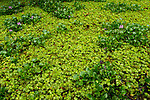 Floating Fern (Salvinia natans) and Common Water Hyacinth (Eichhornia crassipes), both are invasive species, Diyasaru Park, Colombo, Sri Lanka