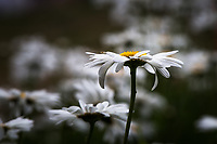 White petals and yellow center of a daisy viewed from the side against a soft focus background of more daisies.