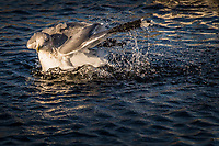 Water drops are frozen in mid-spray as a California gull flaps wildly, cleaning itself in the waters of the duck pond at San Lorezo City Park near San Francisco Bay.