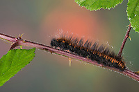 Brombeerspinner, Brombeer-Spinner, Raupe, Macrothylacia rubi, fox moth, caterpillar, Le Bombyx de la ronce, Chenille, Glucken, Lasiocampidae