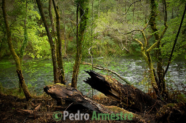 """An image of the Natural Park of """"Fragas do Eume"""", near La Coruna, on April 09, 2012. On March 31 started a wildfire in the park that has ravaged 750 hectares according to government reports. . The Natural Park of """"Fragas do Eume"""" is one of the most impressive deciduous forests across Europe, an example of endangered native forest. In the canyon formed by the river Eume, agglutinates a habitat that represents one of the last examples of Atlantic forest left in Europe. It inhabits a specially protected and endemic wildlife in an ecological enclave characterized by the presence of native plant species, some listed as very rare and very vulnerable. (c) Pedro ARMESTRE"""