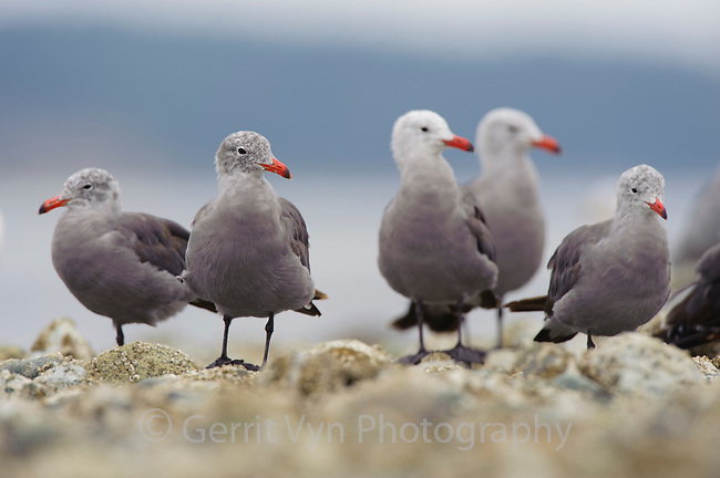 Flock of adult Heermann's Gulls (Larus heermanni) molting into basic (winter) plumage on intertidal rocks. Jefferson County, Washington. August.