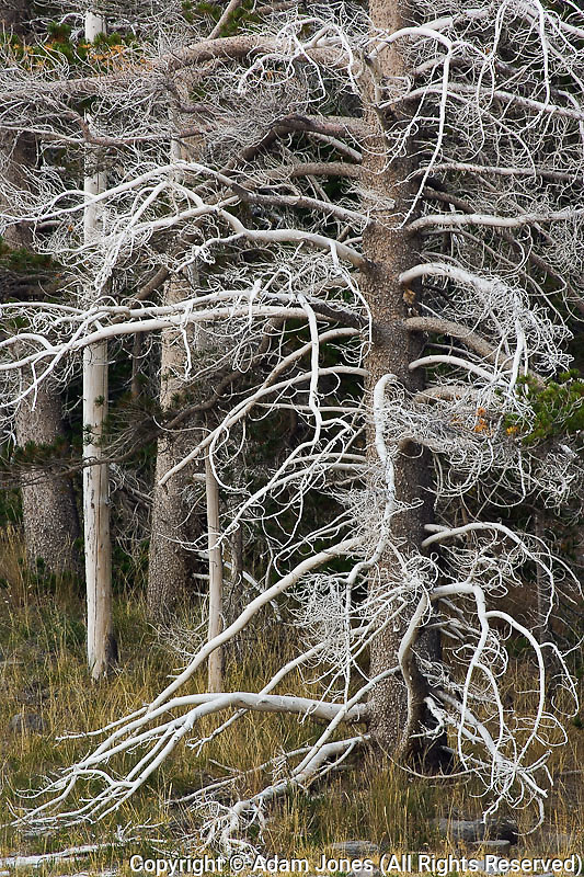"Silicified ""Ghost trees"" Upper Geyser Basin, Yellowstone National Park, Wyoming"