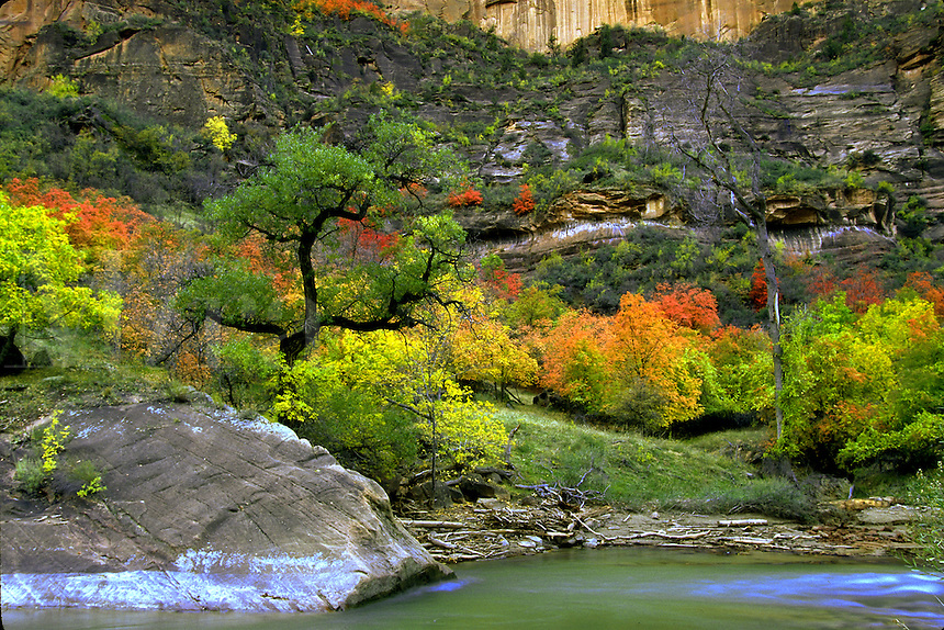 Cottonwood tree on the Virgin River. Fall colors. Utah, Zion National Park.