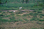 Arctic wolves, Yellowknife region, Northwest Territories, Canada