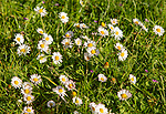 Close up of common daisies, Bellis perennis, growing in grass lawn, Suffolk, England, UK