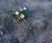 SDBD_028 - USA, South Dakota, Badlands National Park, North Unit, Tufted evening primrose blooms on soft, eroded sediments, near Seabed Jungle.