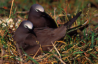 Brown noddies on nest at laysan I. Note sandbur plant in nest.