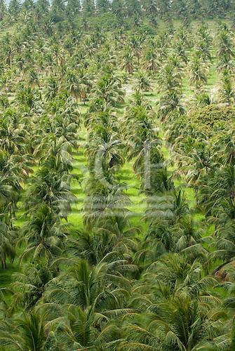 Alagoas State, Brazil. Mirante da Praia do Gunga. Commercial coconut palm plantations.
