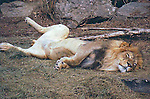 MALE LION SHOWS HIS BELLY AT DENVER ZOO