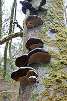 Bracket fungus growing on a tree at Ardkinglas Woodland garden, Cairndow, Argyll.