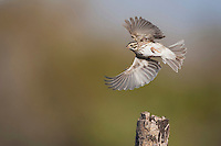 Savannah Sparrow (Passerculus sandwichensis), adult in flight, Sinton, Corpus Christi, Coastal Bend, Texas, USA